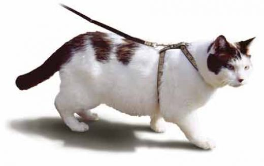 Best Way To Train Cat To Harness