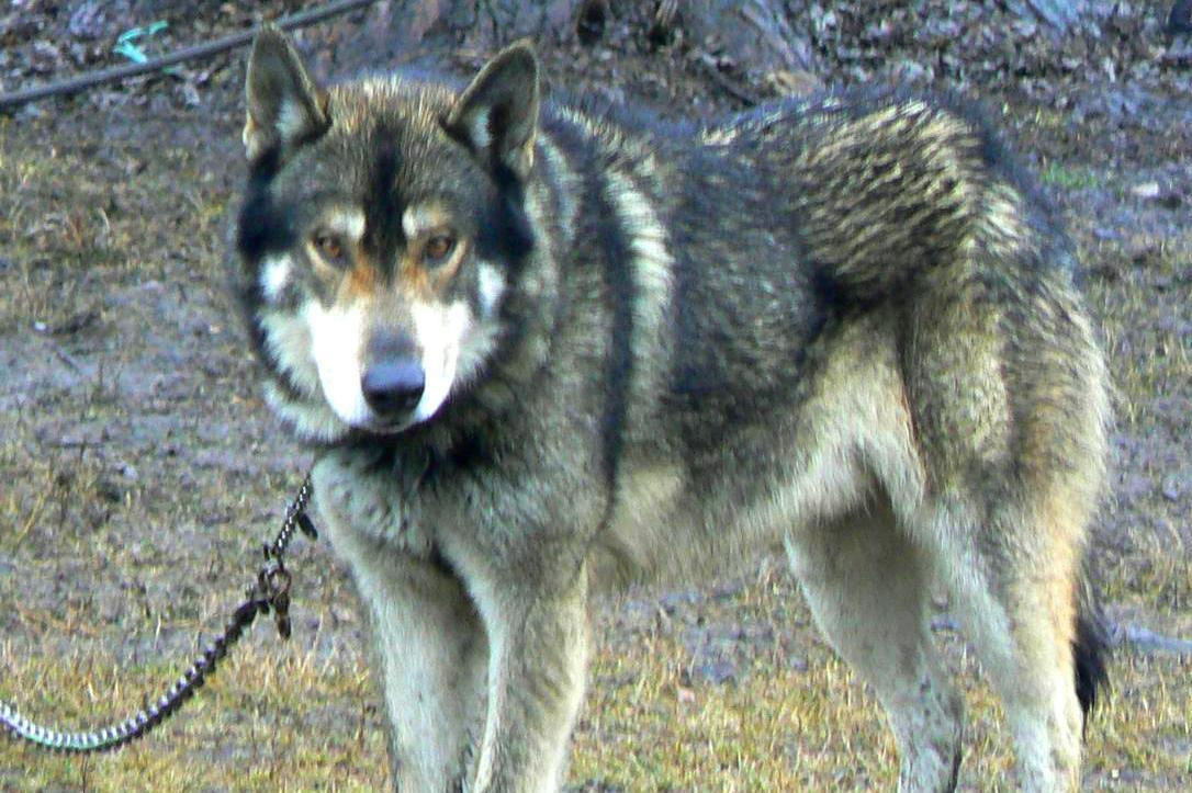 Gray Wolf Pets or Wolf Hybrids as Pets
