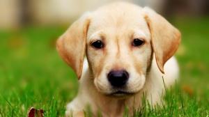 Labrador-Puppy-1920x1080