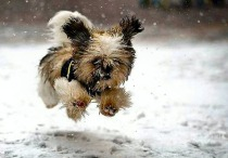 little_dog_running_snow